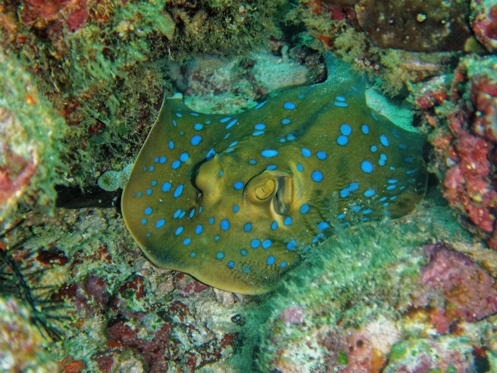 grey and blue manta ray camouflage in corals